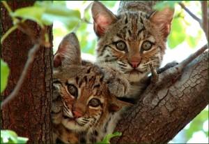 bobcat cubs
