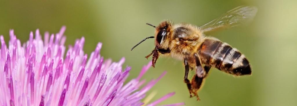 Honeybee_landing_on_milkthistle02ed