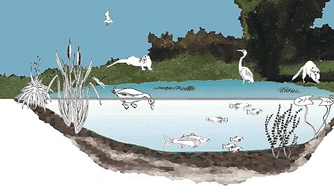 Wetlands Food Web Wetlands Month